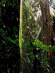 (ebi-katsu) Tags: canon ixy 930is   spider spidersweb nephilaclavata    spidersilk