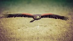 Arizona (Ruth S Hart) Tags: arizona harrishawk duskyhawk goingdigital edenfalconry hylandspark essex uk bird flight nikond700 nikon70200mm ruthshart