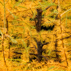 'Tamarack' (Larix Laricina) (Canadapt) Tags: tamarack tree needles branches autumn fall pattern abstract keefer canadapt larch larixlaricina