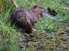 Myocastor coypus (Arystene Nicodemo) Tags: myocastor coypus ratão ratãodobanhado animaisbrasil echimydae faunasãocarlos