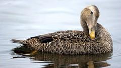 Common Eider, Canal Park - Duluth MN, 01/03/15 (TonyM1956) Tags: tonymitchell canalpark duluth stlouiscounty minnesota nature birds waterfowl ducks eiders commoneider sonyphotographing sonyalphadslr