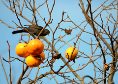 Giovane  merlo maschio (Turdus merula) (santi_riccardo) Tags: bird nokia autunno cachi merlo migrazione cacciafotografica d3000 birdwatcching