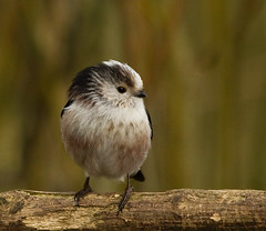 Long-tailed Tit (Clive_57) Tags: tits