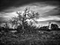 The Old Tree on Leander Road