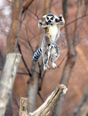 Ring  tailed lemur (floridapfe) Tags: park nature animal zoo korea everland ringtailedlemur