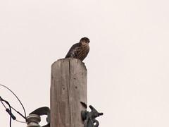 P1110599 (lbj.birds) Tags: bird nature wildlife merlin falcon kansas flinthills