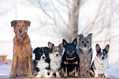 Snow White and the 5 Dwarfs (wendy74ca) Tags: winter dog snow cold beach dogs mutt corgi group six mixedbreed pyreneanshepherd stmarysreservoir