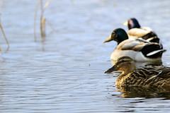 Mallard, Cabra Wetlands, North Tipperary (murticusyurticus) Tags: ireland lake water duck wildlife wetlands mallard tipperary cabra