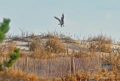 7080 Delaware, the Snowy Owl (Dom J. Manalo Photography) Tags: winter berlin md snowyowl assateaguestatepark marylandzoo irruption mddnr projectsnowstorm