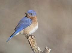 Bluebird (tevans9129) Tags: birds nikon tennessee wildlife bluebird tamron d7100 150600