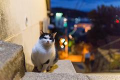 尾道 ネコ (GenJapan1986) Tags: travel japan night cat hiroshima 日本 旅行 動物 ネコ 夜 2015 広島県 尾道市 nikond610