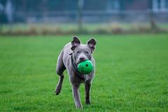 Lou (alexpauen) Tags: dog silver ball labrador sony wiese hund lou grün alpha 70200 6000 silber a6000 alpha6000 f470200goss