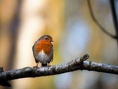 Robin (John P Norton) Tags: bird robin fauna manual f56 11250sec focallength300mm lumixgvario100300f456 olympusem10 copyright2015