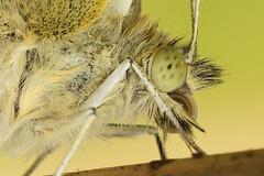 Pieris napi (henk.wallays) Tags: macro nature closeup butterfly insect wildlife butterflies na