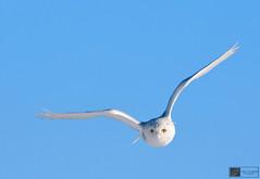 Snowy Owl (Nick Scobel) Tags: photography snowy michigan flight arctic owl migration tundra avian bubo irruption scandiacus