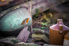 The Mill House Robin (jillyspoon) Tags: sky bird robin birds fly flock wing beak feathers flies