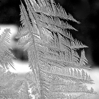 frost fronds
