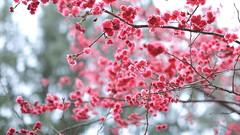 (Wilson Au | ) Tags: canon hongkong bokeh cherryblossom sakura cheungchau orientalcherry ef50mmf12lusm flickrhongkong eos5dmarkiii flickrhkma