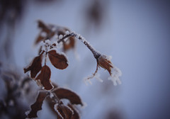 Eisrose (claudiarndt) Tags: winter cold ice rose frost rime eis raureif