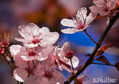 Signs-of-Spring-2 (Nualchemist) Tags: pink light plant flower detail tree nature floral closeup petals spring bright bokeh outdoor bloom delicate delightful macrophotography plumblossoms simplyflowers umeblossoms palepin