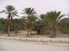 Date Palm Lined Streets of Tozeur