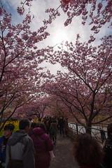 DS7_1945.jpg (d3_plus) Tags: street sea sky plant flower nature car rain japan drive spring scenery cloudy wideangle rainy  cherryblossom  sakura   shizuoka    touring  izu  kawasaki  superwideangle  kawazu          a05  kawazuzakura  1735mmf284 tamronspaf1735mmf284dildasphericalif tamronspaf1735mmf284dildaspherical d700  nikond700 tamronspaf1735mmf284dild tamronspaf1735mmf284 kawazucherryblossom tamronspaf1735mmf284dildasphericalifmodela05