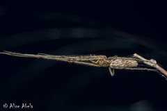 Longjawed Orbweaver (Tetragnatha sp.) (aliceinwl1) Tags: arachnid arachnida araneae araneomorphae arthropod arthropoda ca california entelegynes guadalupe longjawedorbweaver osoflaco osoflacodunes osoflacolake sanluisobispocounty tetragnatha tetragnathidae locpublic spider truespider viseveryone