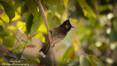 red vented bulbul (haziq ali) Tags: pakistan bird spring nikon sigma islamabad bulbul redventedbulbul pakistaniphotographer nikonphotographer