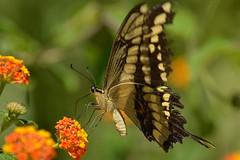 Nectar (mara.arantes) Tags: flowers color nature yellow butterfly garden cores fly colours natureza borboleta jardim nectar insetos colorido digitalnikon d3200