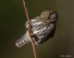 Northern Pygmy Owl (Eric Gofreed) Tags: canada britishcolumbia ngc npc owl northernpygmyowl