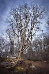 Old Tree (Parentez) Tags: france tree forest de ledefrance arbre fort le