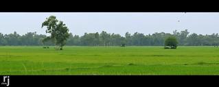 Lush Green Fields of Sialkot, Pakistan