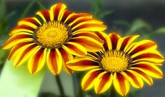 Dodgey Daiseys (Nodule1) Tags: flowers macro d200 tagetes
