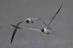 Laughing Gull w/shrimp (Greg Lavaty Photography) Tags: bird beach nature june texas wildlife gull jetty flight shrimp chase quintana laughinggull brazoria ixobrychusexilis