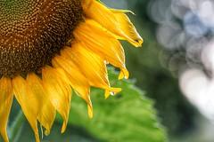 Sunflower with raindrops (JPShen) Tags: raindrop sunflower bokeh yellow