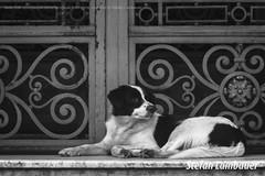 Santos, Prefeitura (Stefan Lambauer) Tags: cachorro dog centro prefeitura paomunicipal bw pb stefanlambauer 2016 brasil brazil santos sopaulo br