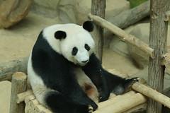 Feng Yi (/) aka Liang Liang 2016-06-17 (kuromimi64) Tags: bear zoo panda malaysia nationalzoo kualalumpur giantpanda   zoonegara     fengyi   liangliang nuannuan selangordarulehsan  zoonegaramalaysia