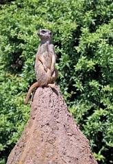 Erdmnnchen (Andrea_U1) Tags: zoo tiere erdmnnchen