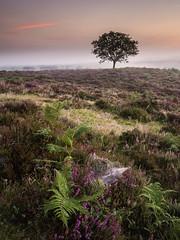 Hallickshole Hill (Damian_Ward) Tags: damianward photography damianward hallicksholehill newforest hampshire bellheather heather mist morning bracken