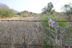 Purple flower morning meadow Sedona AZ (artistwhite) Tags: morning light red arizona sky mountains flower rock landscape wire rocks desert outdoor meadow panoramic canyon hills western hazy barbed