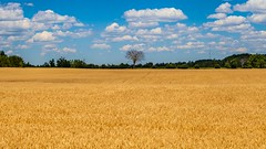 IMG_2553 (VNR Photography) Tags: andrevonnickisch vnrphotography vnr httpswwwfacebookcomavnrphotographyrefhl avnrphotogmailcom outdoors country countryroad countryside farm summer field wheat wheatfield growing crops