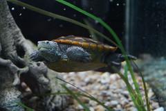 keep swimming (DML0mba) Tags: turtle cape brewster cod diamondbackterrapin muesuemofnaturalhistory kapechick alaclemysterrapin