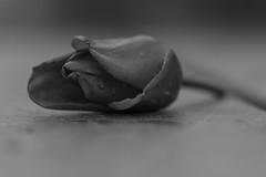 bonjour tristesse.... (la poésie des images) Tags: lapoésiedesimages tulipe macromondays flowersinblackandwhite noiretblanc bonjourtristesse melancholy