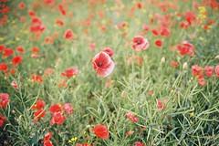 Poppy Field , Walton Wakefield (Taimoor-Busy) Tags: poppyfield sp500 fuji frontier kodak portra 400 portra400 zeiss 35mm f2 biogon ikon walton wakefield