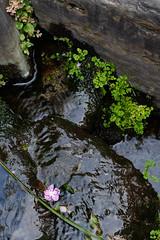 (  / Yorozuna) Tags:  pond  shrine    flower petal   pink color     water  flow waterflow watercurrent  waterside  shinjukuward  tokyo japan pentaxautotakumar55mmf18