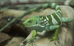 green and white lizard (Pejasar) Tags: reptile lizard whitespots green tulsa zoo oklahoma