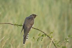 Young Cuckoo (Chris B@rlow) Tags: cuculuscanorus cuckoo cuckoos commoncuckoo europeancuckoo bird birds britishbirds northumberland druridgepools nature outdoors canon sigma wildlife brilliant