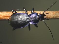 Violet Ground Beetle (Paul Knapper) Tags: violet colour color ground beetle bbcsummerwatch countryfile
