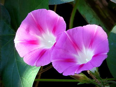Pink (R_Ivanova) Tags: flower flowers garden summer sony colors color plant pink rivanova риванова цветя природа