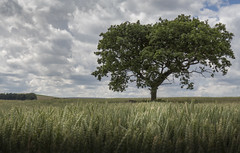 Solitary (Brad@Shaw) Tags: uk greatbritain summer england tree green field canon landscape europe day cloudy branches gb lonetree northeastengland 700d canonef1635mmf4lisusm rebelt5i kissx7i
